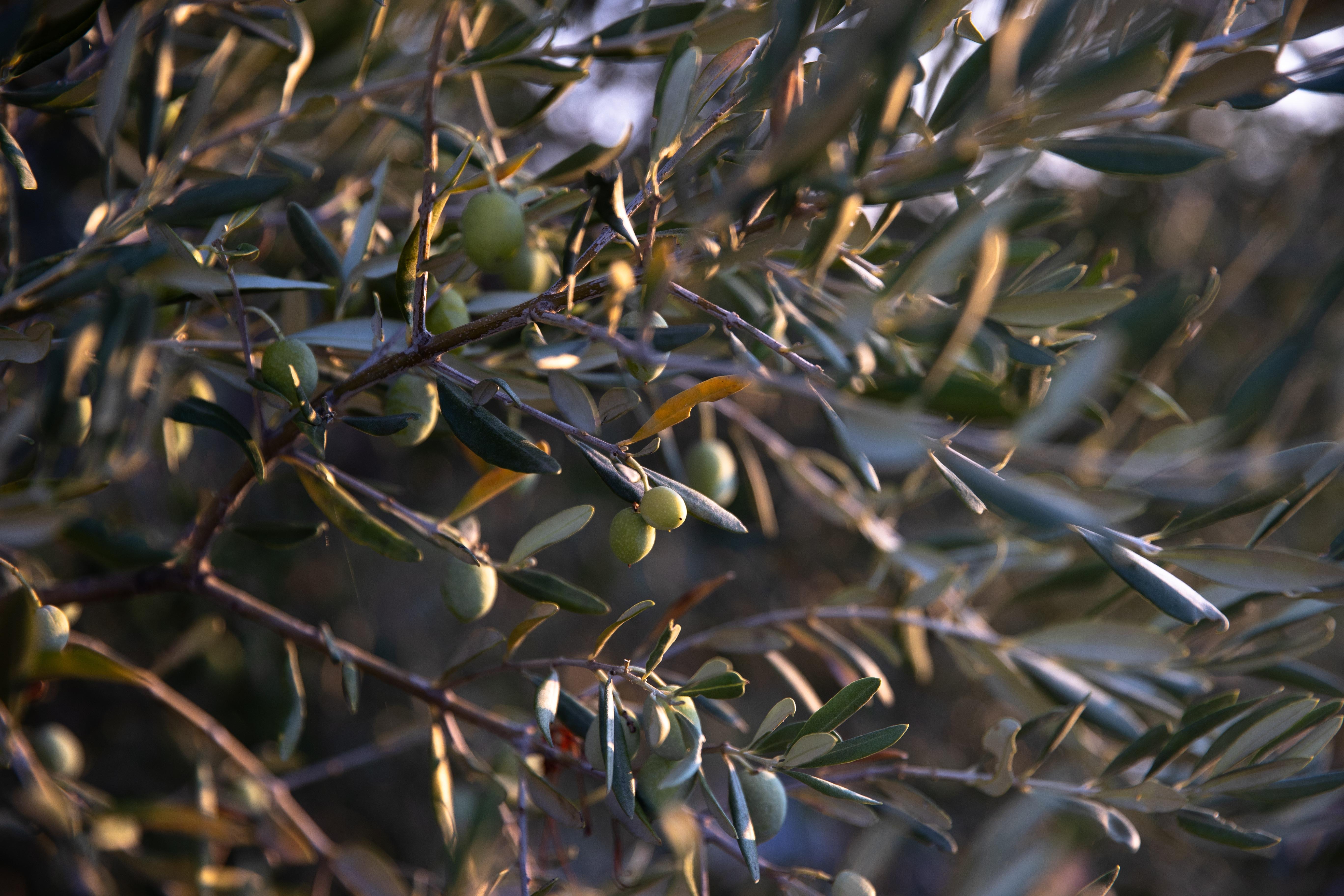 Les oliviers - olive trees
