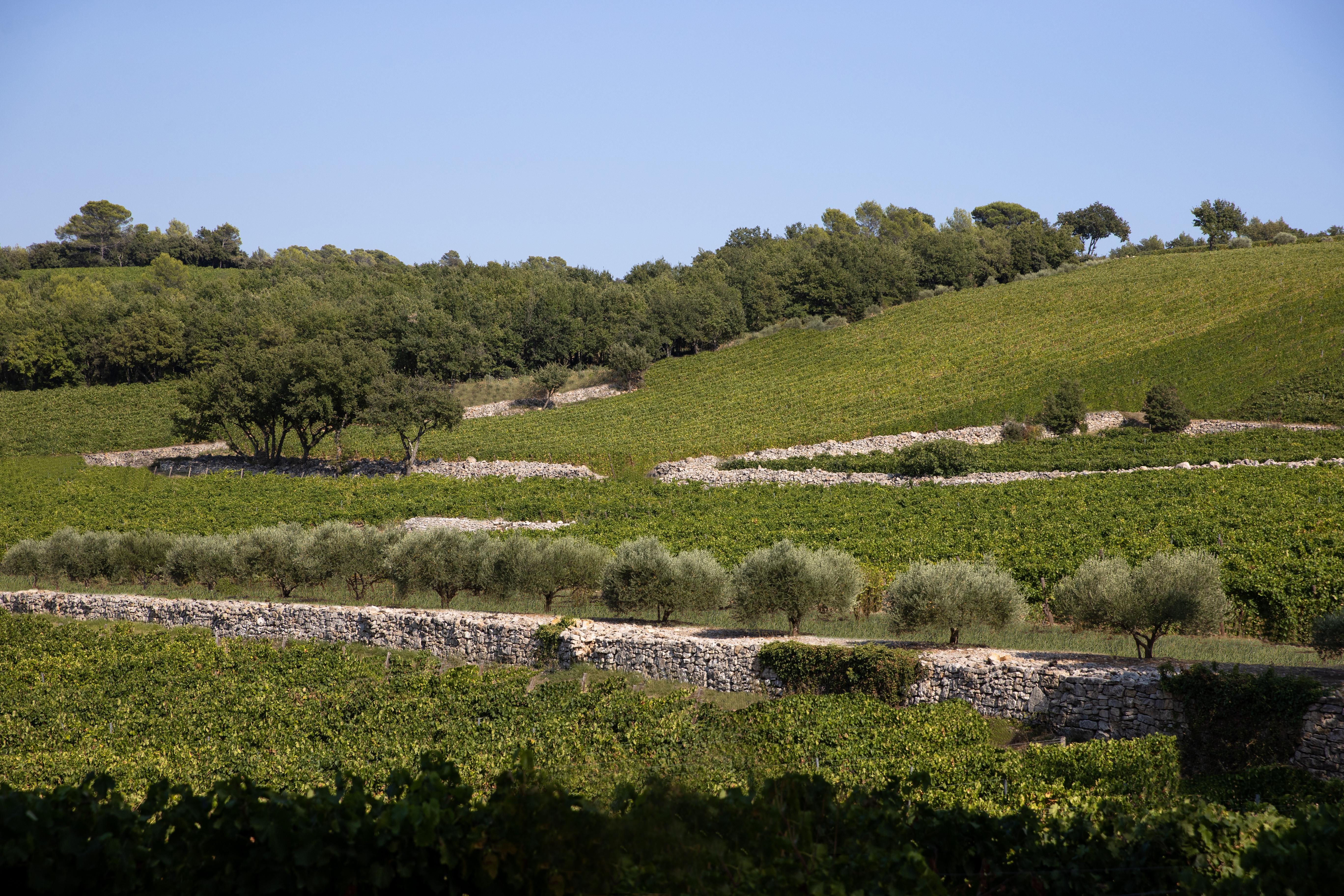 Vignes - Vines