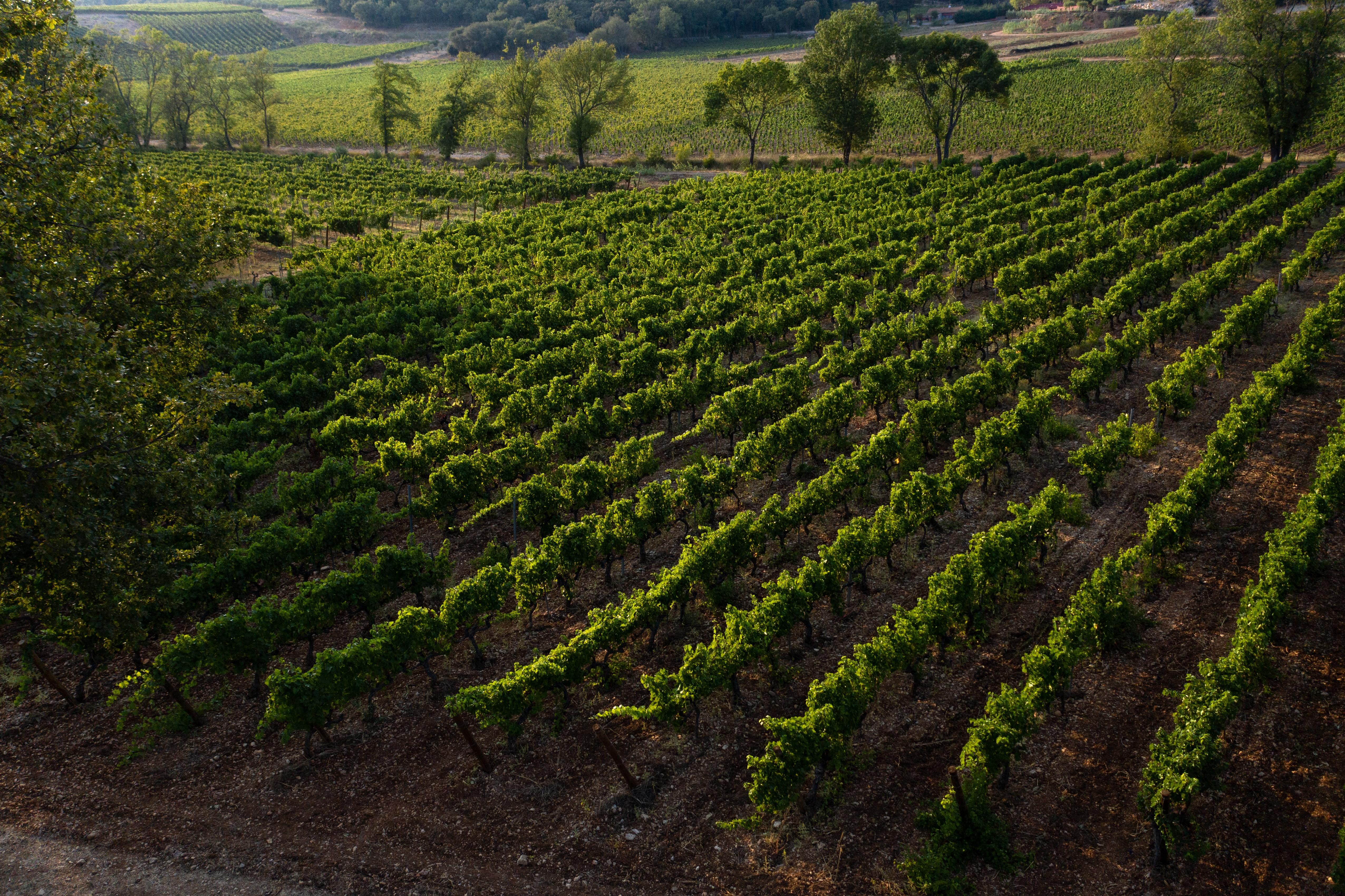 Vignoble - vineyard